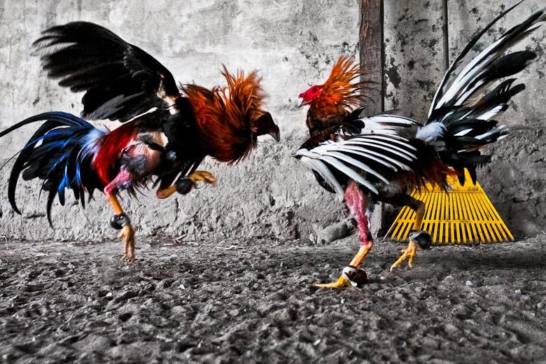 Daftar Situs Agen Judi Adu Ayam Online Tepercaya